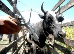 Começou 2ª etapa da vacinação contra aftosa em Mato Grasso do Sul