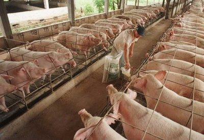 Mato Grosso é o estado com maior produção de carne suína no país