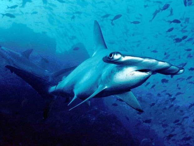Nova espécie de tubarão-martelo é descoberta nos Estados Unidos