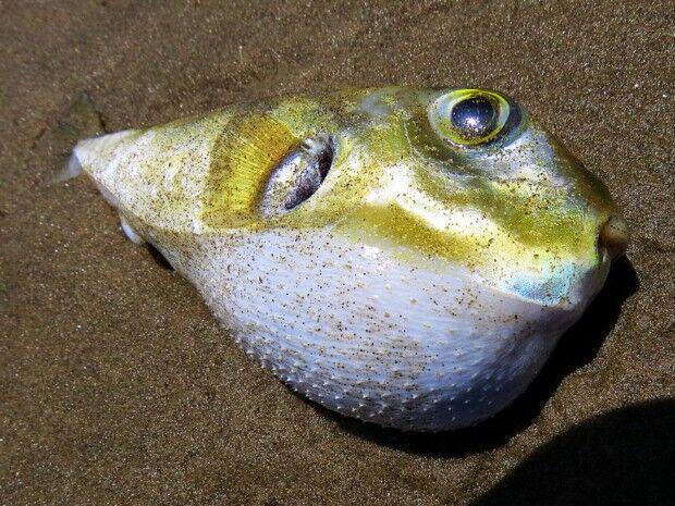 Peixe gordinho chama atenção e vira modelo para foto