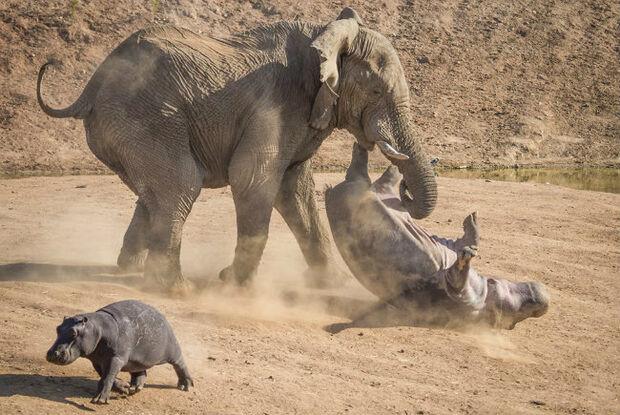 Hipopótamo fêmea enfrenta trombada de elefante para livrar filhote de ataque