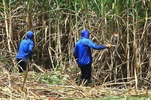Usina é obrigada a indenizar trabalhadores na colheita de cana por insalubridade