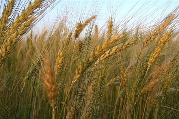 Colheita de trigo avança no Paraná; qualidade gera incerteza