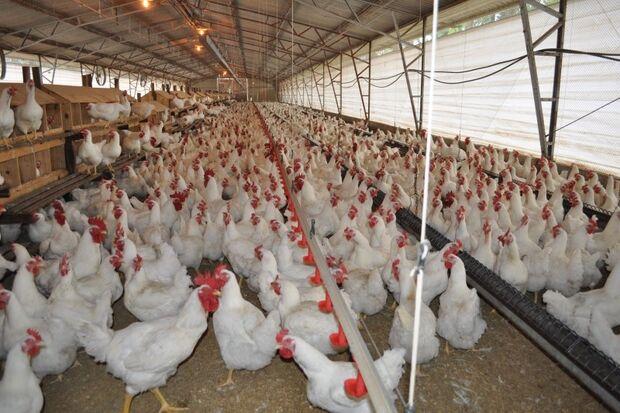 Produção da avicultura brasileira registra crescimento de 2,6% para 2014