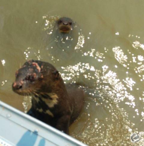 PMA de Coxim encontra ariranha ferida no Rio Piquiri