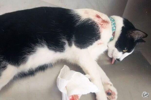 Gato é atingido por tiro de chumbinho e quase morre