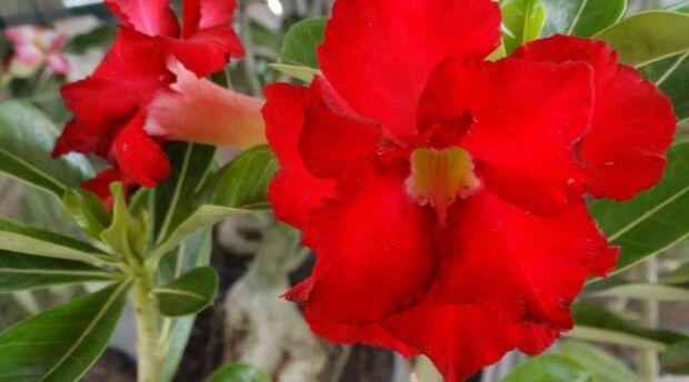 Rosa do Deserto: De beleza exótica, espécie chama a atenção pelo nome e formato