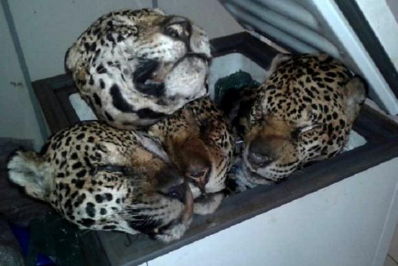 Acusado de maior abate de felinos já registrado pelo Ibama é multado no Pará