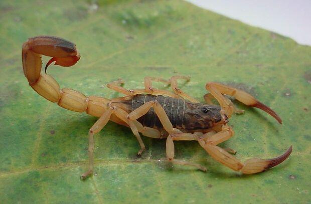Setembro dá início à época de acidentes com escorpiões; veja cuidados