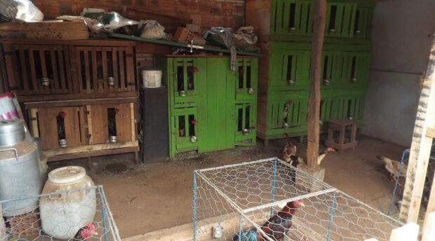 Polícia fecha rinha de galo com 15 animais em Aparecida do Taboado