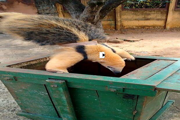 Polícia Ambiental captura tamanduá-mirim em bairro de Campo Grande