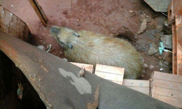 Capivara é capturada nos fundos de residência em obras no Aero Rancho