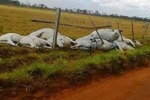Ventania derruba fiação elétrica em cerca  e mata 26 cabeças de gado em Amambai