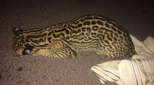 Ferida na cabeça e patas, jaguatirica atropelada no Pantanal será levada para a Capital