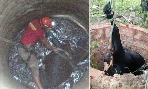 Bombeiros resgatam vaca que caiu em poço de treze metros