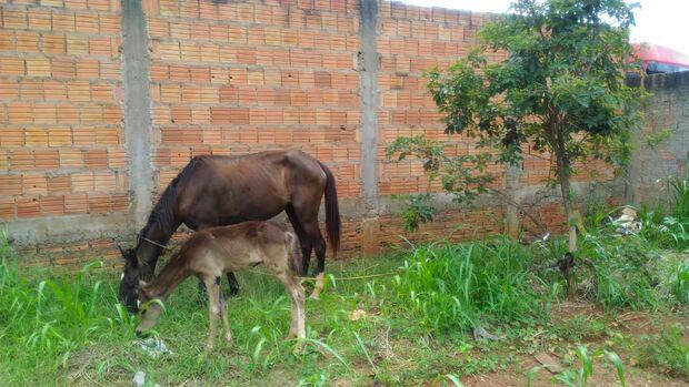 Égua e filhote são abandonados em bairro de Campo Grande
