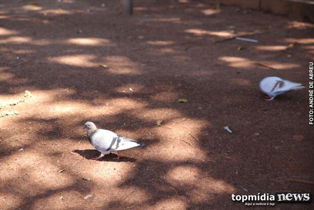 Lei compara pombo à barata e proíbe população de alimentar as aves em Campo Grande