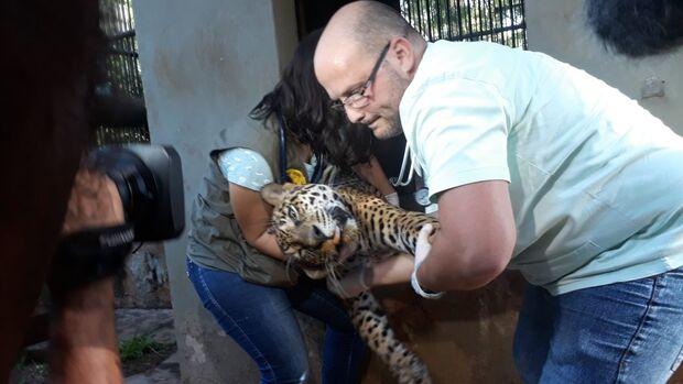Em cinco meses onça-pintada ganhou 39 quilos sob os cuidados do CRAS