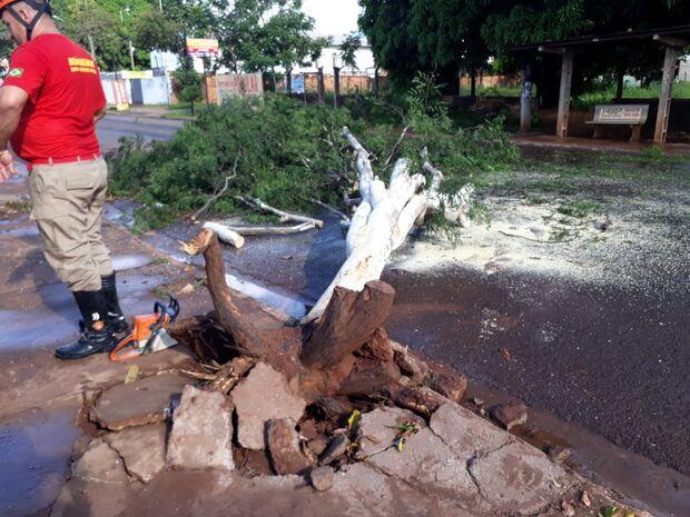 Após chuva e rajadas de vento, árvore cai, mas ninguém fica ferido