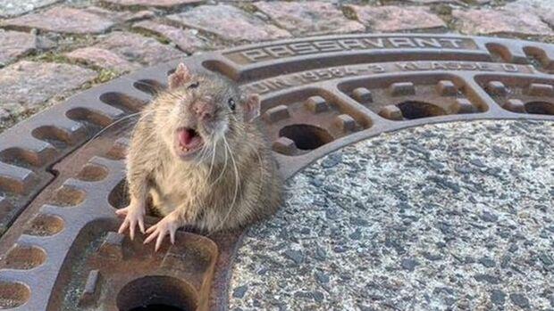 Rata 'gordinha' é salva após ficar entalada em bueiro