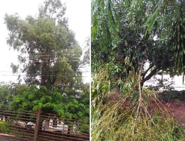 Árvore de 30 metros em risco de queda preocupa moradores da Mata do Jacinto