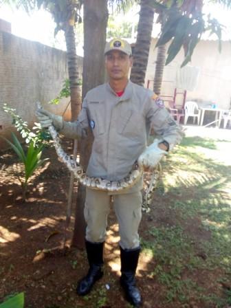 """'Olha a cobra"""": jiboia é capturada em quintal de residência em MS"""