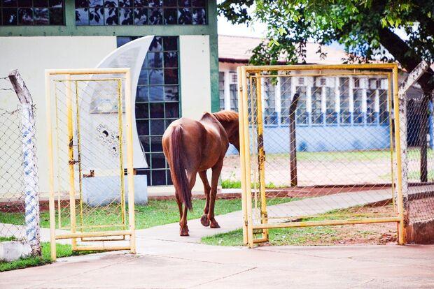 'Morando' na rua, cavalo visita biblioteca e passeia entre carros em Aquidauana