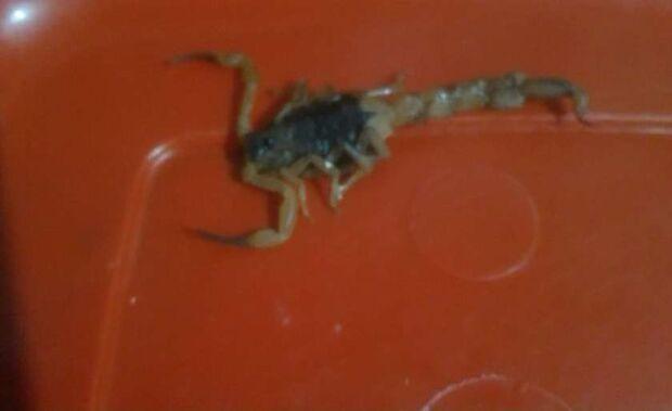 Uma pessoa é picada por escorpião por dia em Paranaíba