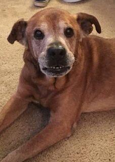Cachorro idoso luta contra a idade para conhecer irmã e morre dias depois dela nascer