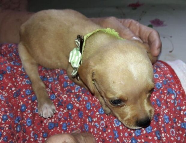 Ladrões invadem residência e levam cão labrador em tratamento veterinário