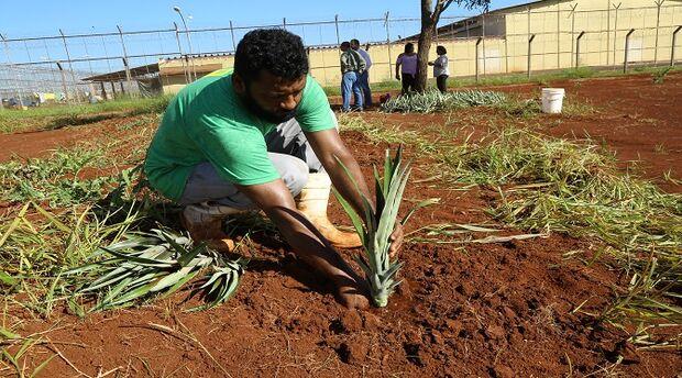 Detentos do semiaberto de Dourados iniciam plantio de abacaxi para o Banco de Alimentos do Município