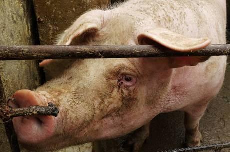 Mulher desmaia em chiqueiro e é devorada por porcos