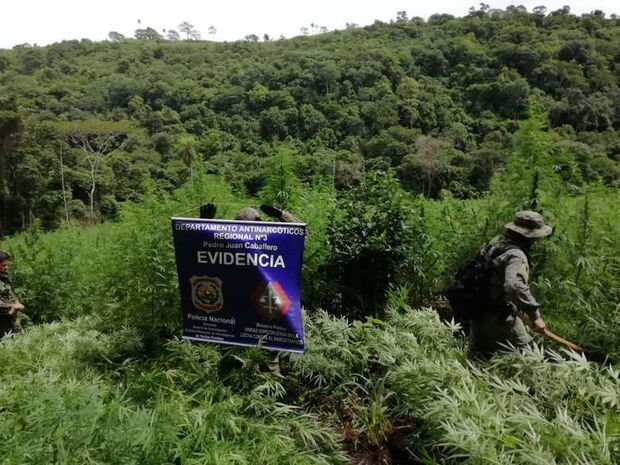 Polícia destrói três hectares de plantação de maconha