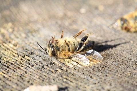 Estudo indica que em MS 45 milhões de abelhas foram mortas