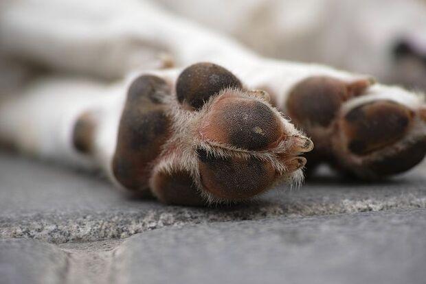 Pit Bull invade residência e mata cachorro 'Neguim' na Capital