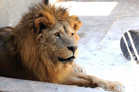 Leão mata dono em criadouro irregular