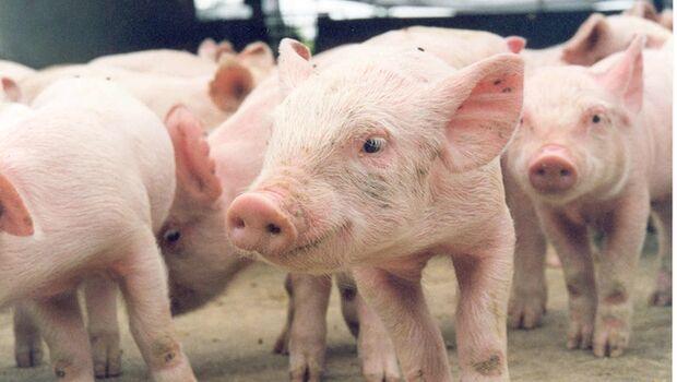 Funcionário é preso e confessa já ter furtado mais de 200 porcos do patrão