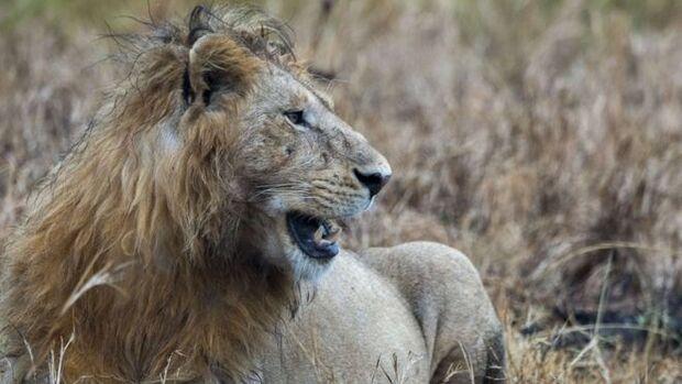 Caçador pisoteado por elefante é comido por leões durante caçada