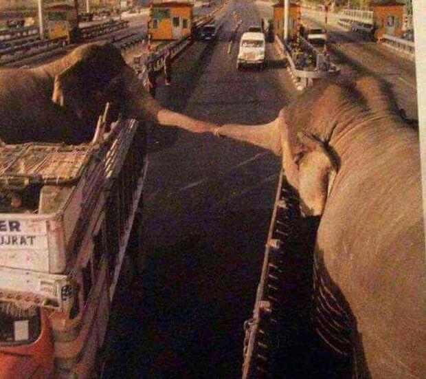 Dois elefantes separados unem as trombas para se despedirem para sempre