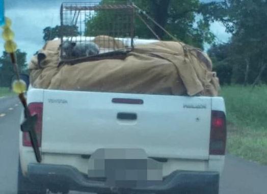 Polícia identifica motorista que transportou filhote em carroceria durante chuva