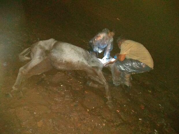 Revoltante: cavalo doente é abandonado pelo dono e tem de ser sacrificado