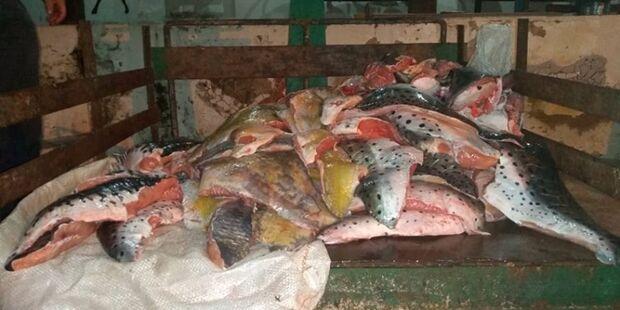 Pescador abandona 97 kg de peixe pintado para escapar de R$ 100 mil em multas