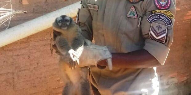 Macaco com lesão no quadril é resgatado em quintal de residência