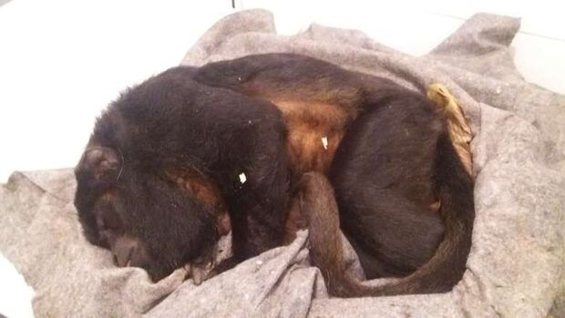 Macaco atropelado no Jardim Petrópolis é socorrido, mas morre e deve ser empalhado
