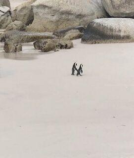 VÍDEO: casal de pinguins é 'flagrado' passeando de 'mãos dadas' na África do Sul