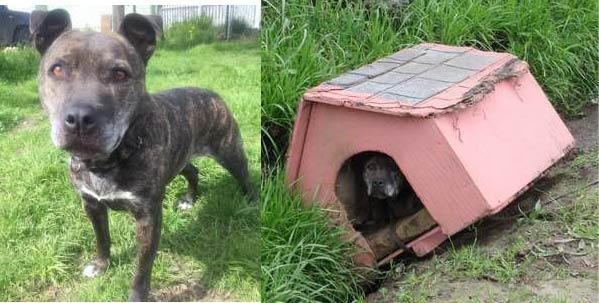 Cãozinho abandonado espera pacientemente por ajuda em casinha ao lado de rodovia