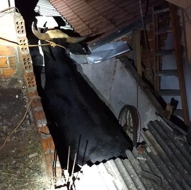 Depois de andar por ruas, touro cai sobre telhado de casa