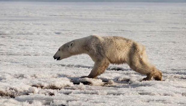 Urso polar se perde e é encontrado exausto após andar mais de 700km