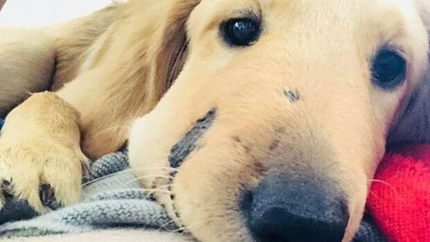 Filhote de cachorro leva picada de cascavel no rosto para salvar a dona