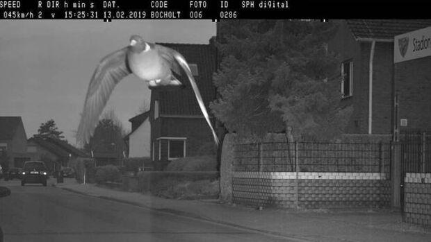 Veloz e furioso: pombo 'ultrapassa limite de velocidade' e é fotografado por radar